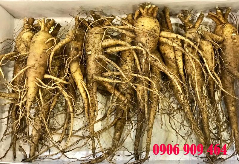 Bán hạt giống sâm bố chính - Củ sâm bố chính giá tốt